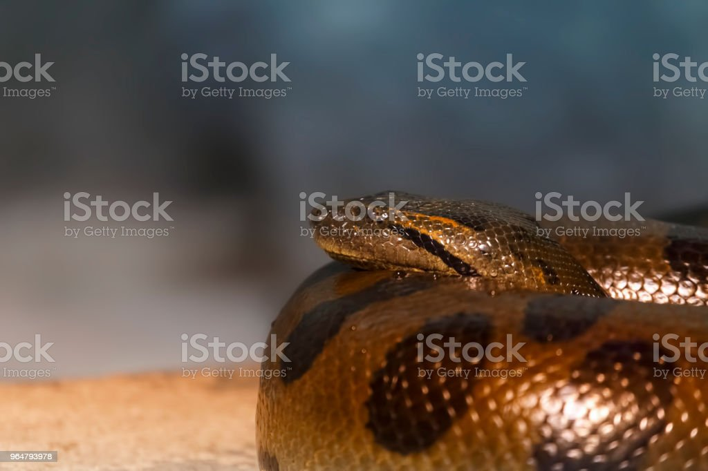 Snake coiled rings royalty-free stock photo