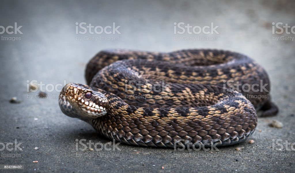 Snake, Common European Adder, Vipera berus stock photo