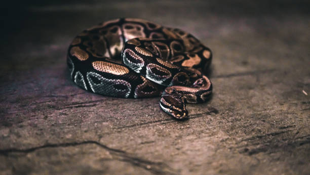 Australian Eastern Brown Snake Curled Stock Photo (Edit Now) 1479890051