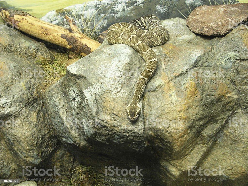 Snake Diamondback Rattlesnake stock photo