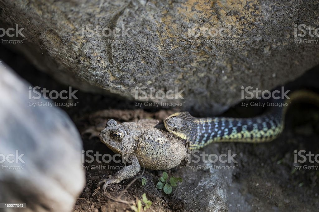 Snake Eating Frog royalty-free stock photo