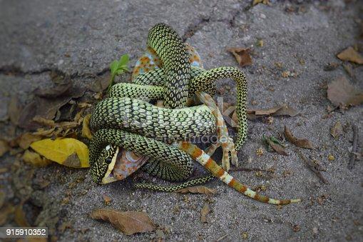 istock snake eating gecko 915910352