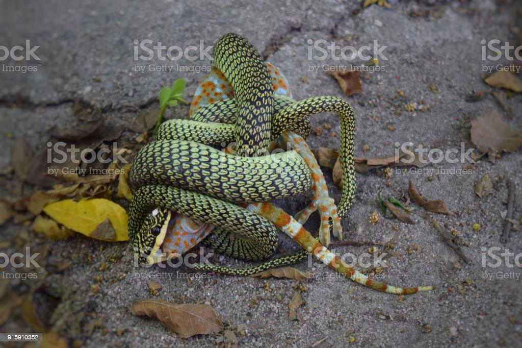 snake eating gecko stock photo