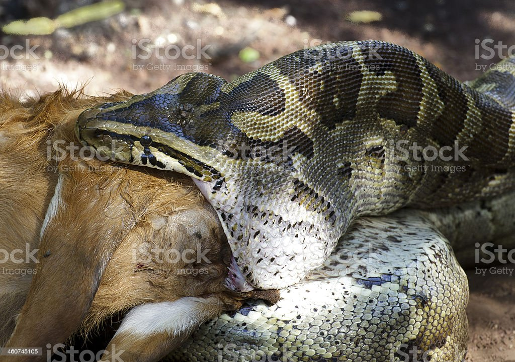 Snake Eats Deer Stock Photo & More Pictures of Animals ... - photo#20