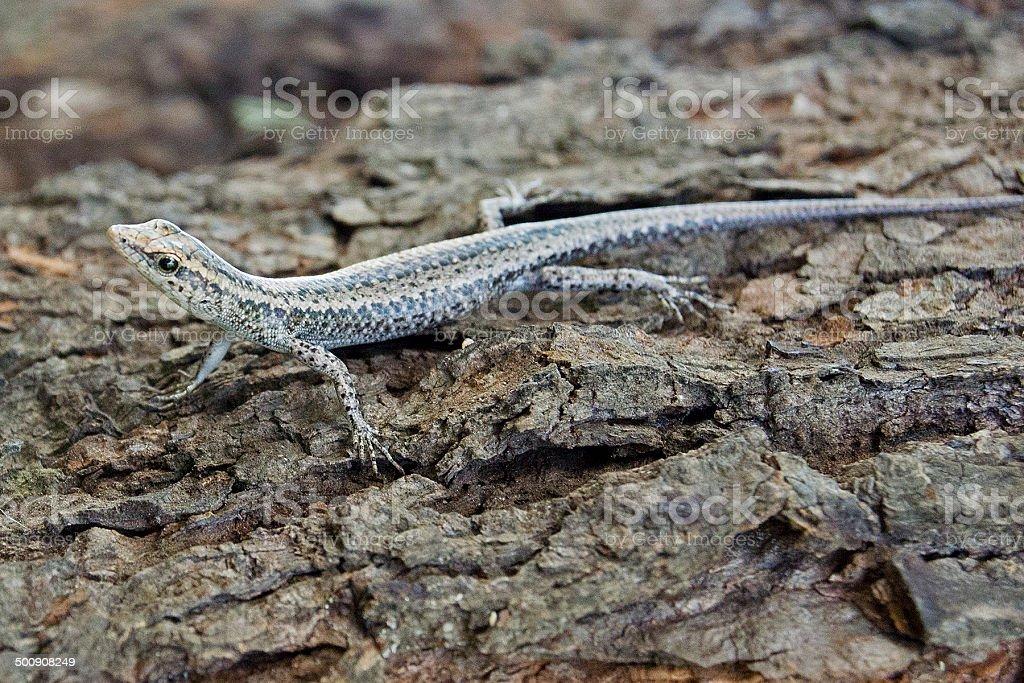snake eyed skink  Cryptoblepharus cygnatus royalty-free stock photo
