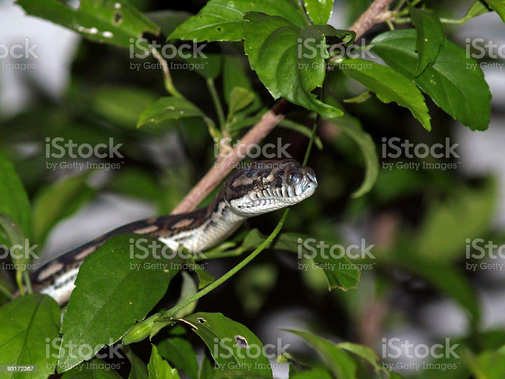 Snake Eyes royalty-free stock photo