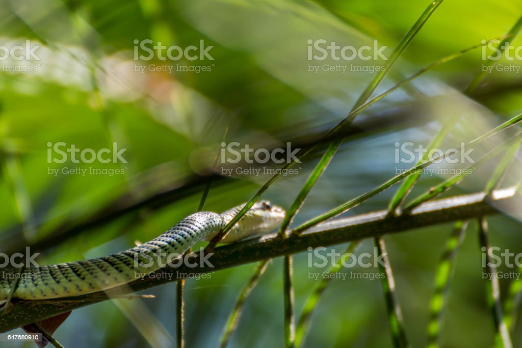 Snake (Chrysopelea ornata, Golden tree snake, Ornate flying snake, Golden flying snake or Colubrid snake) green color with black cross-hatching and yellow or gold colored on a tree in the garden stock photo