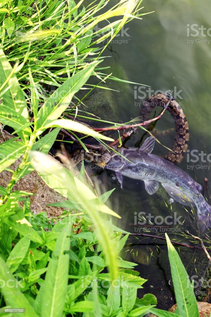 Snake having dinner royalty-free stock photo