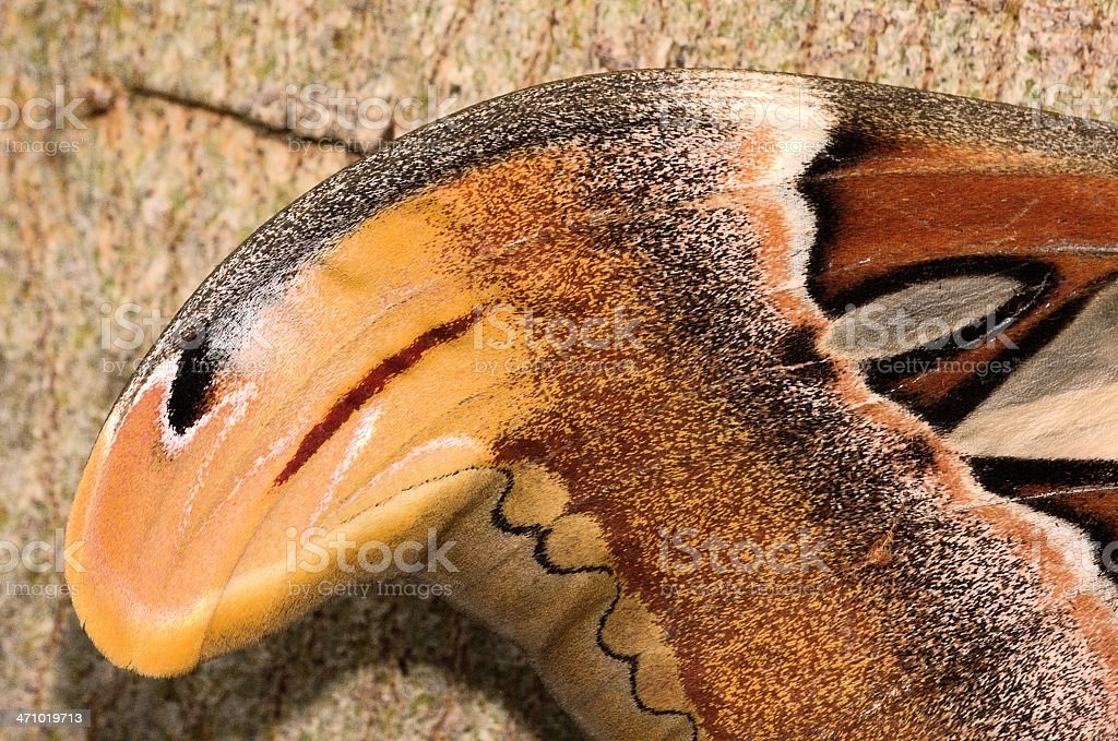 Snake Head Atlas Moths Wing Stock Photo & More Pictures of Anatomy ...