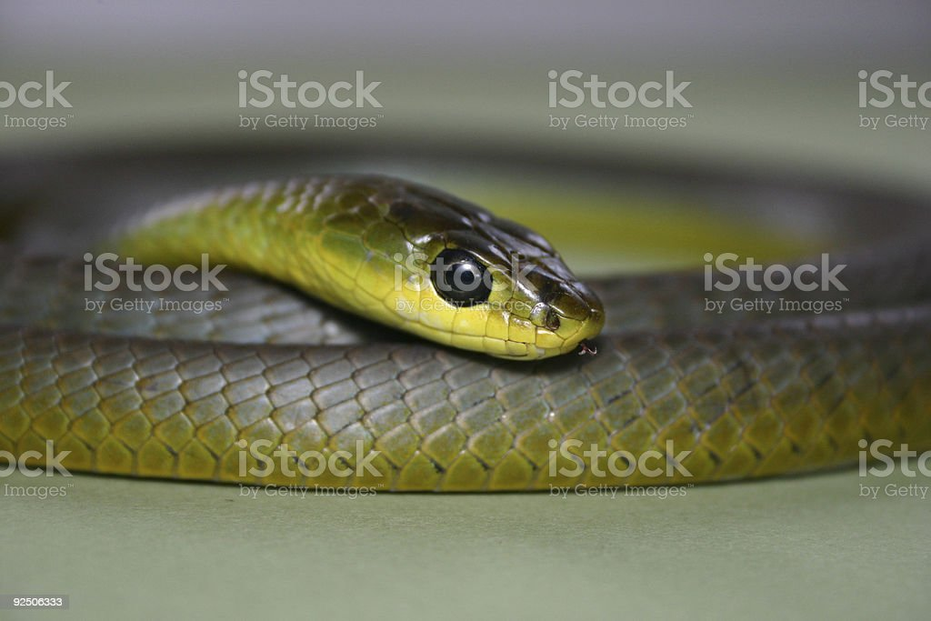 Snake head & coils close up royalty-free stock photo