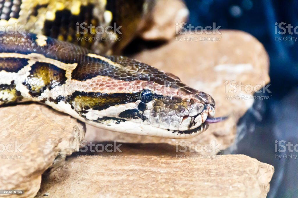 Snake head with put out tongue stock photo