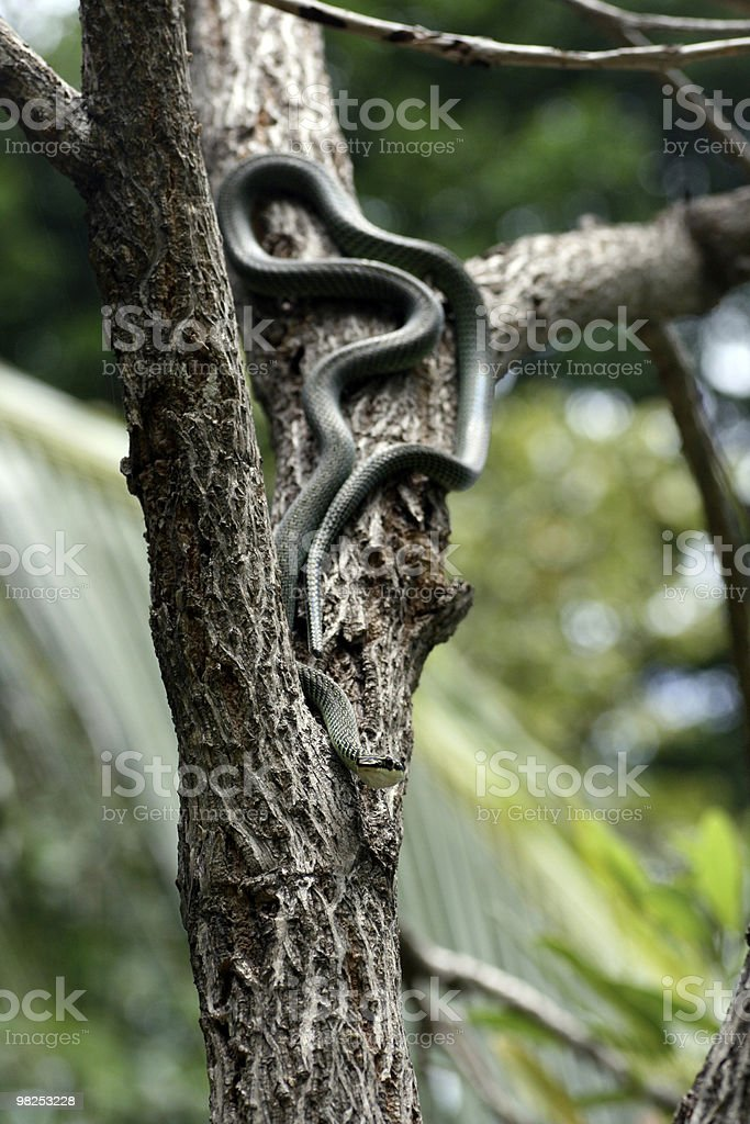 Snake Hunting royalty-free stock photo