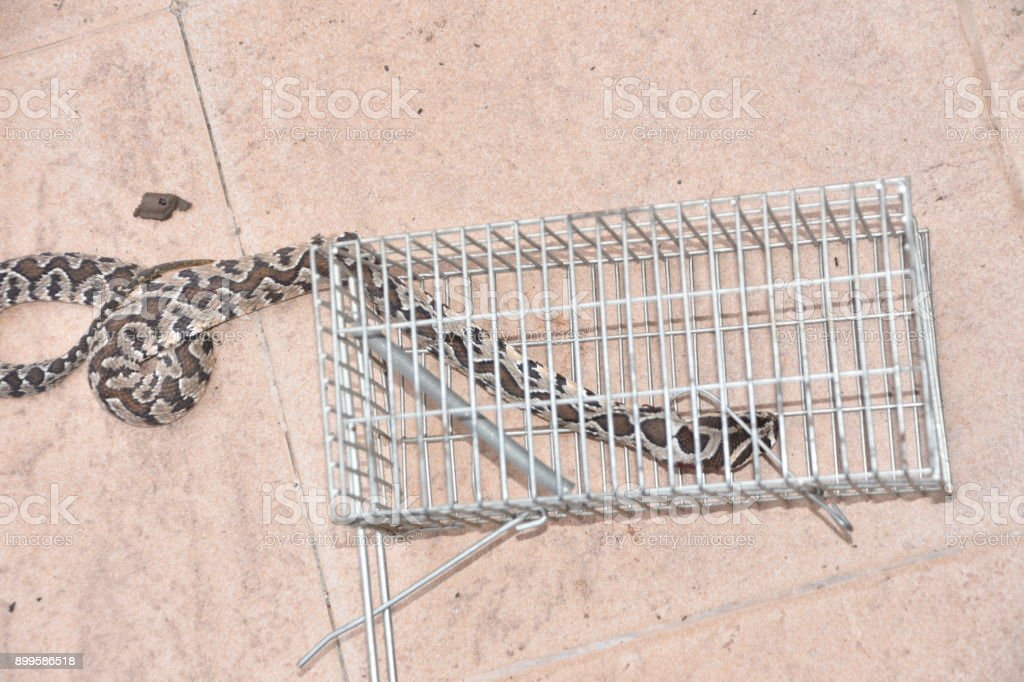 Snake in a mousetrap stock photo