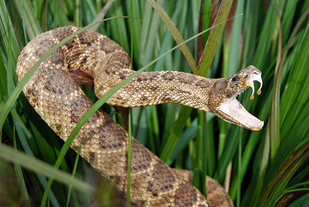 Snake in long grass with mouth open showing venom Rattle snake in tall grass. fang stock pictures, royalty-free photos & images