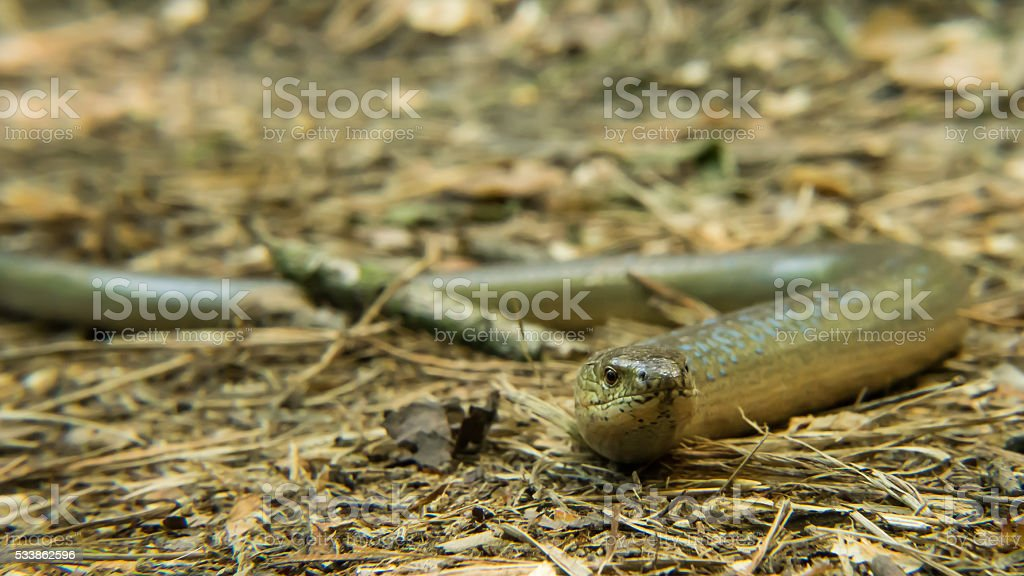 Snake in the nature - animal face stock photo