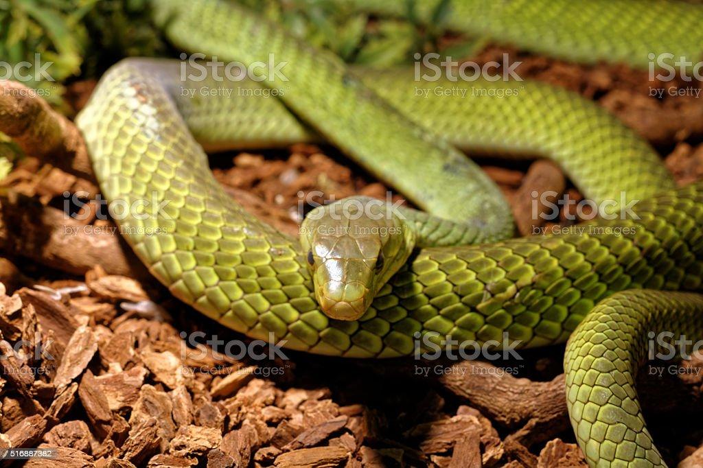 Fotografía de Serpiente En Terrarioserpiente Rata Verde y más banco ...
