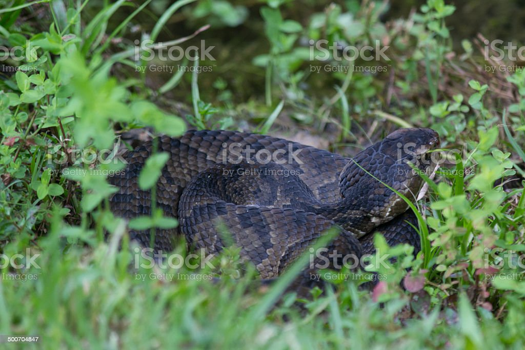 Snake in the Weeds stock photo
