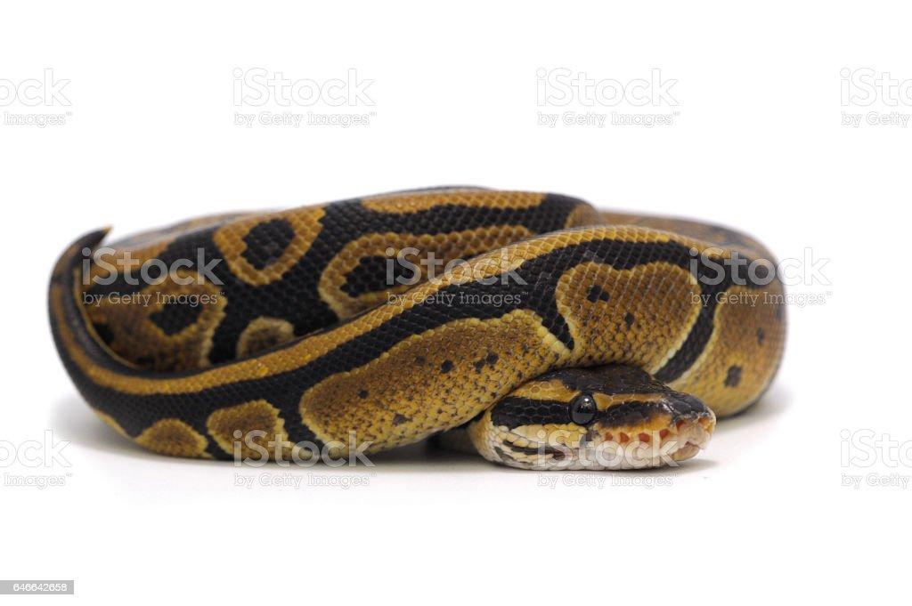 snake isolated on white background stock photo