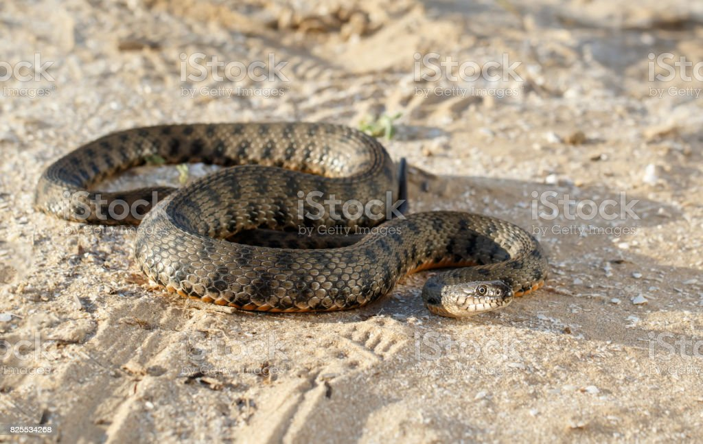 snake, known as Natrix tessellata, crawling on sand in the steppe  near volga river  in the rays of the setting sun stock photo