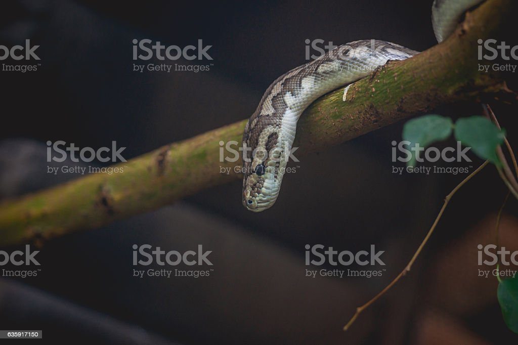 Snake looking down from a tree stock photo