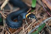 Snake natrix natrix attack