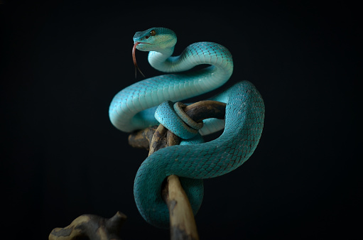 Venomous Bush Viper Snake Showing Aggression