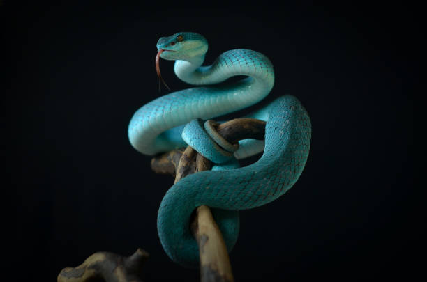 serpent sur le fond noir - serpent photos et images de collection