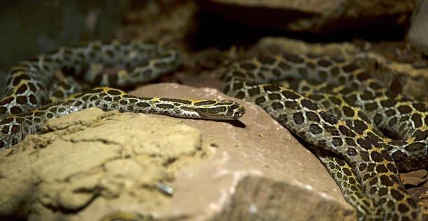 Snake on the Rocks stock photo