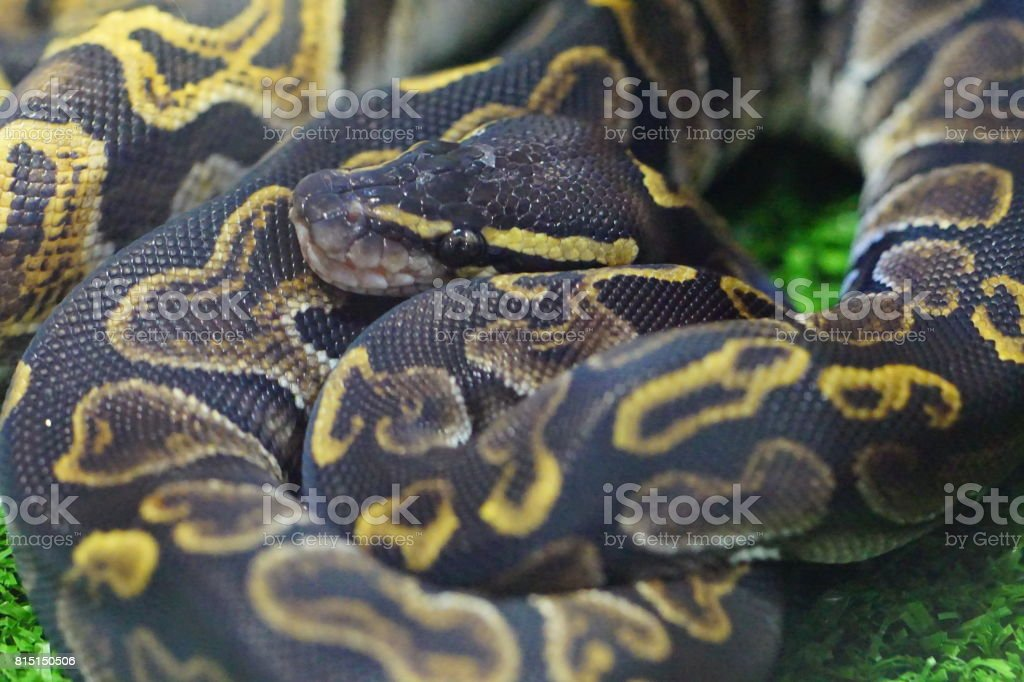 Snake Overload – zdjęcie