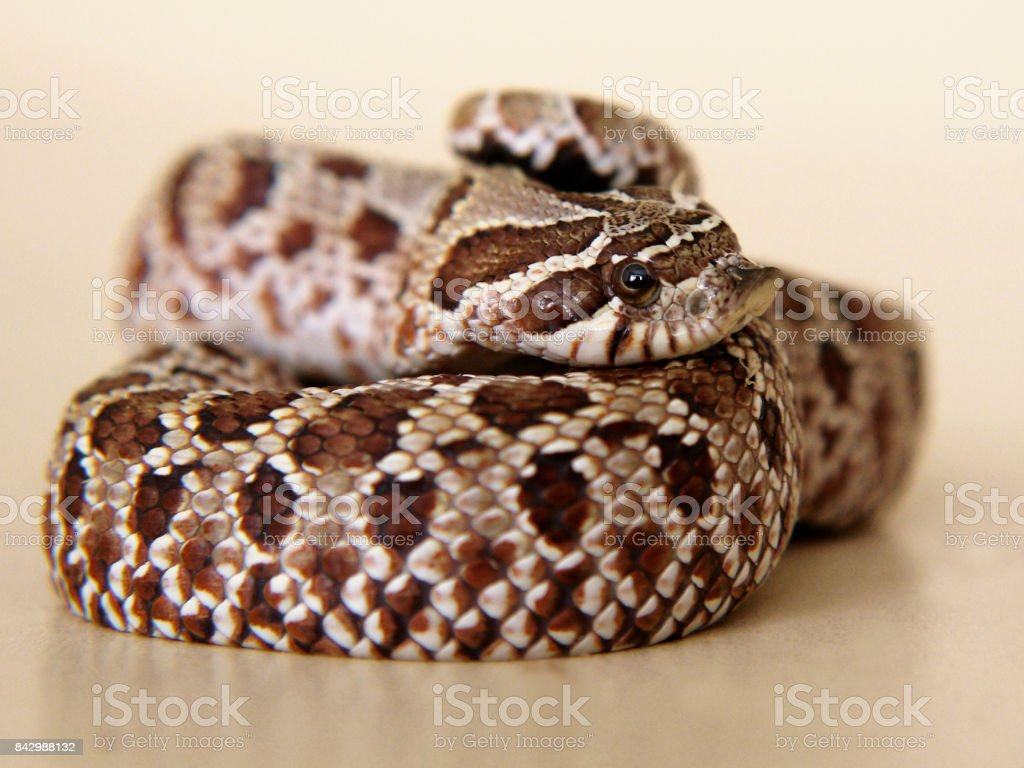 Snake: pensive, sad, frightened, or surprised? stock photo