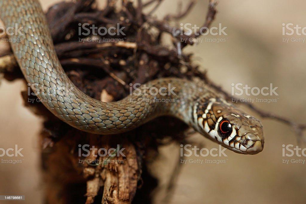 snake royalty-free stock photo