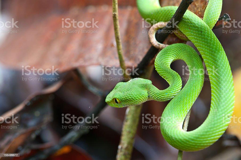 snake (green pit viper) stock photo