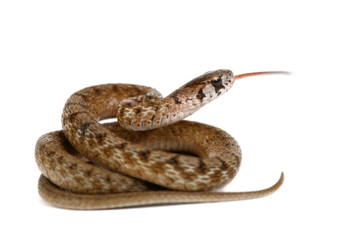 Snake with his tongue out, shallow focus on head.