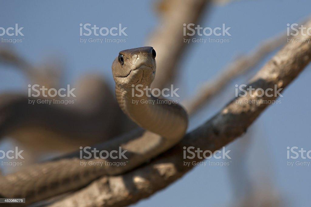 snake ( black mamba) stock photo