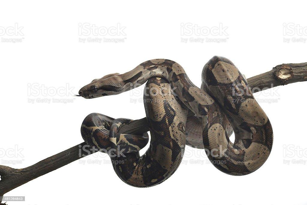 Snake – zdjęcie