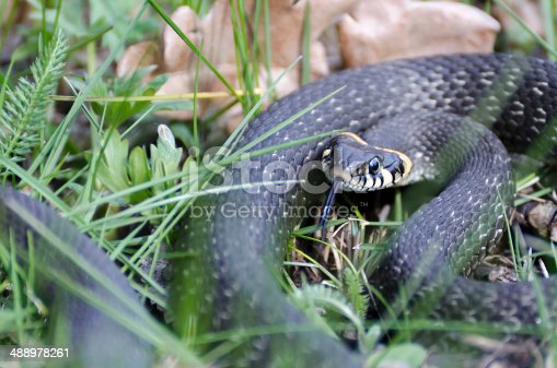 Snake among the grass in the spring with his tongue hanging out warns that it did not touch