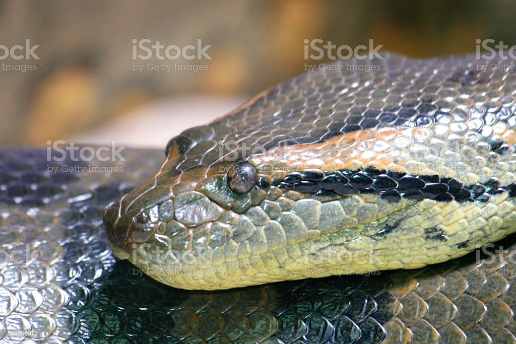 snake   (Serpentes) stock photo