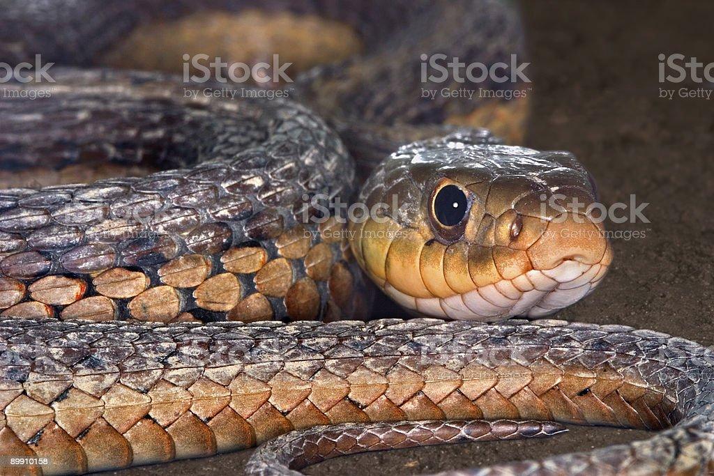 Snake! royalty-free stock photo