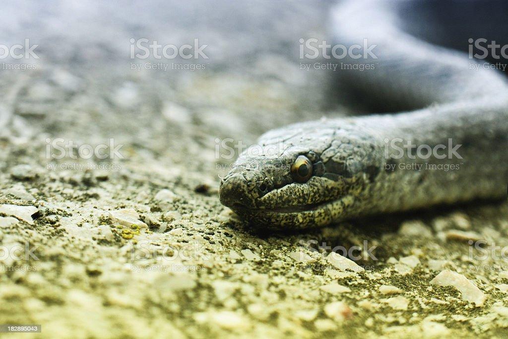 Snake Portrait royalty-free stock photo