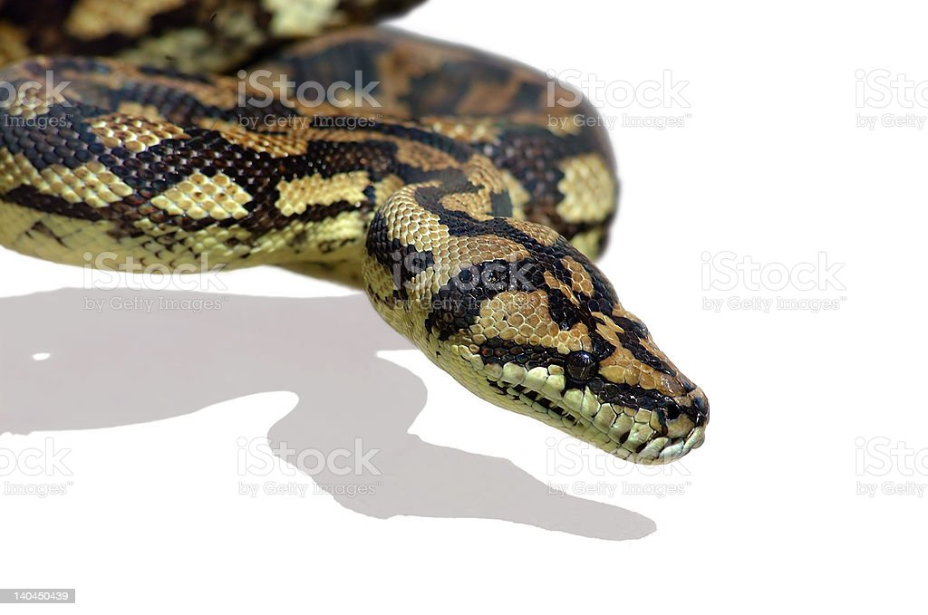 Snake Python royalty-free stock photo