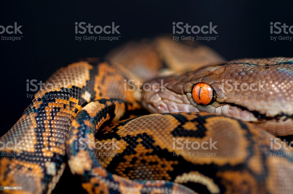 snake reticulated python isolated on black background stock photo