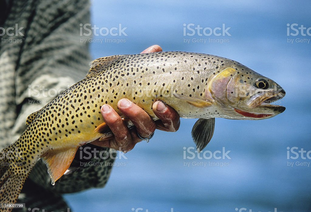 Snake River Fine-Spotted Cutthroat Trout stock photo