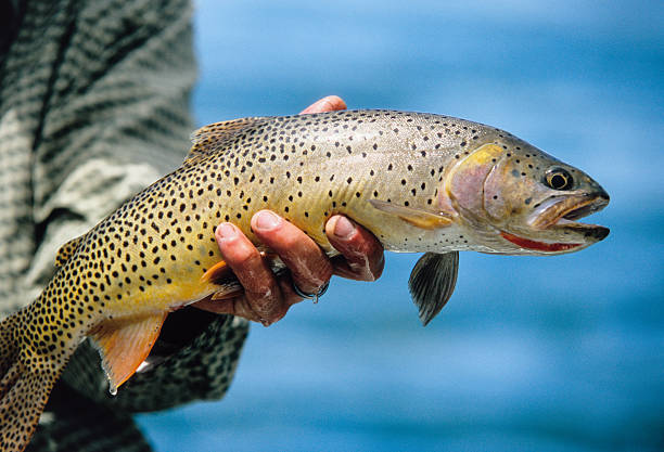 Snake River Fine-Spotted Cutthroat Trout A Cutthroat caught then released on the South Fork of the Snake River, Swan Valley Idaho. cutthroat stock pictures, royalty-free photos & images