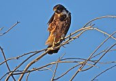 Snake River Birds Of Prey National Conservation Area.\nWestern Idaho's High Desert/South Of Boise.\nNear The Snake River Canyon.\n\nA Rare Rufous-Morph Swainson's Hawk.