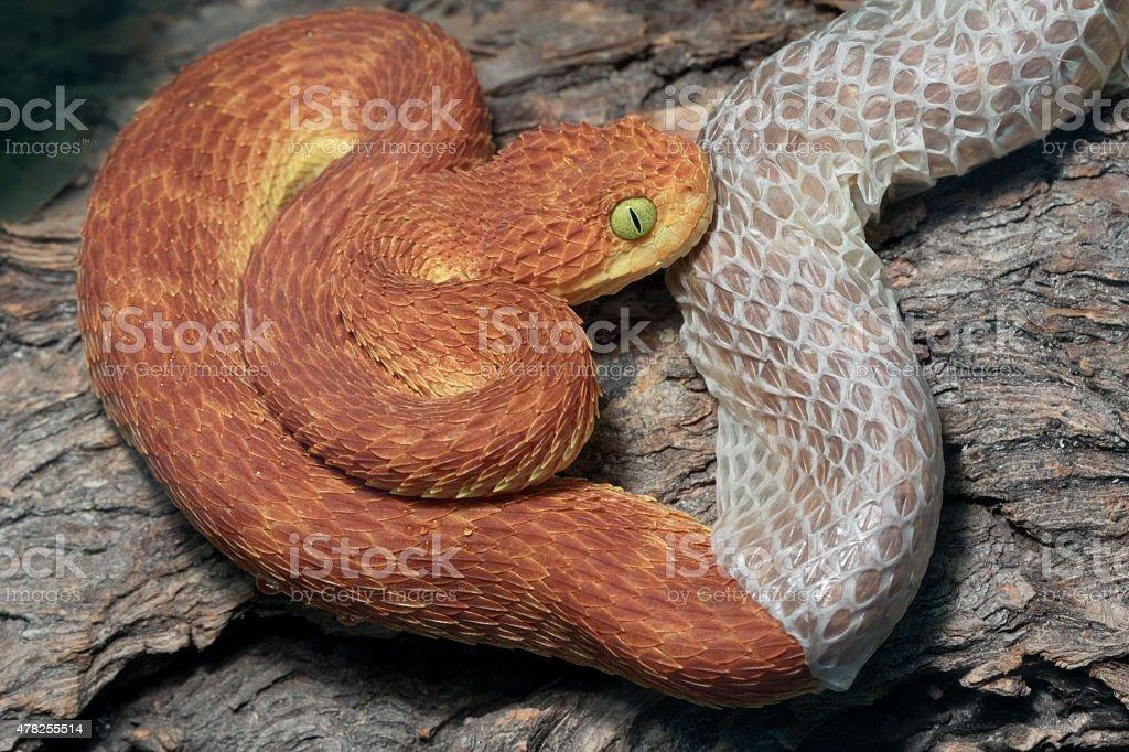 Snake Shedding it's skin - Poisonous Bush Viper stock photo