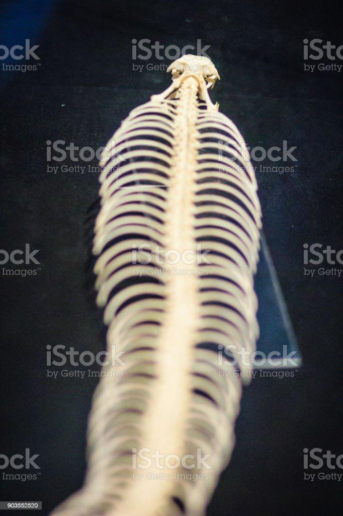 Snake Skeletons Of King Cobra The Worlds Longest Venomous Snake ...