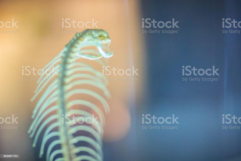 Esqueletos De Monocled Cobra De La Serpiente También Llamado ...