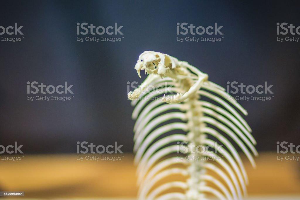 Fotografía de Esqueletos De Monocled Cobra De La Serpiente También ...