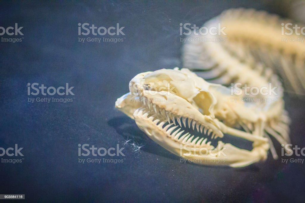 Esqueletos De Serpiente De Pitón Reticulada Es Una Especie De Python ...