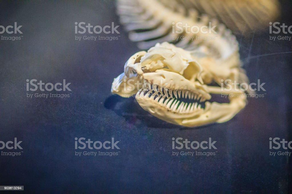 Fotografía de Esqueletos De Serpiente De Pitón Reticulada Es Una ...